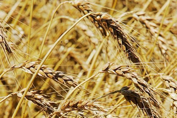 Le blé : nouvelle arme russe !