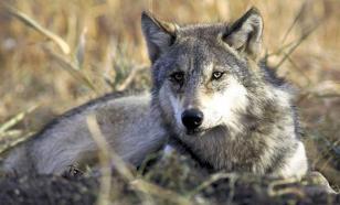 Le loup est-il à Rambouillet et Fontainebleau, aux portes de Paris?